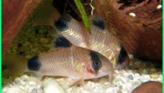 What Type of Fish Should I Get for My First Aquarium? Choosing the First Fish for Your Freshwater Aquarium: Panda Cory Catfish For Sale, Small Catfish, Catfish Online, Cory Catfish, Neon Tetra, Freshwater Aquarium Fish, Fish Aquariums, Types Of Fish, One Fish