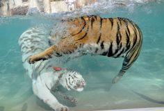 Белые тигры (9)