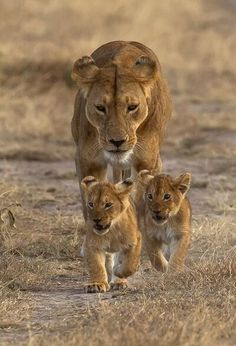 Lioness and cubs. Motherhood is tough Lion Pictures, Animal Pictures, Beautiful Cats, Animals Beautiful, Beautiful Couple, Cute Baby Animals, Animals And Pets, Funny Animals, Lioness And Cubs