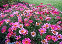 argyranthemum 'Madeira'    Can't wait to plant these!