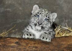 Brookfield Zoo Snow Leopard Cub: Meet The Chicago-Area's Newest Resident (PHOTOS)