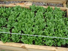 How to grow spinach, when to harvest, and how to store it.