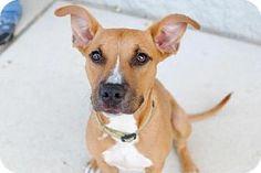 Jacksonville, FL - Black Mouth Cur. Meet BAMBI, a dog for adoption. http://www.adoptapet.com/pet/11755817-jacksonville-florida-black-mouth-cur
