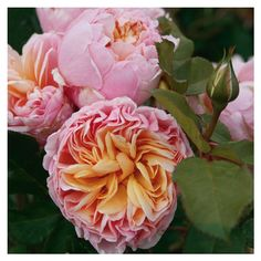 ~Rose 'Alexandrine' Mehr
