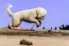 #animal #ball #beach #cute #desert #dog #domestic #fur #golden doodle #jump #landscape #mammal #outdoors #pet #play #sand #summer