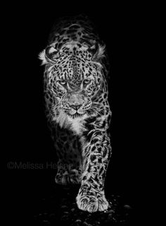 Amur Leopard | Emerging from Shadow | Melissa Helene Fine Arts 12x16 scratchboard www.melissahelene.com #amurleopard #endangeredspecies #animal #wildlife #wildlifeart
