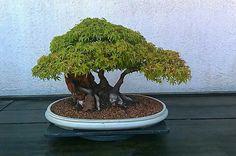 National bonsai & penjing museum 2011