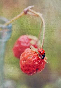 Ladybugs- Beneficial insects in the garden