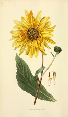 Shagreen-leaved Sunflower. Plate from 'Flora Conspicua' by Richard Morris. Drawn…