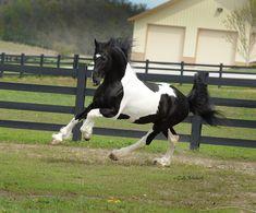 Baroque Pinto Friesian #Horse Most Beautiful Horses, All The Pretty Horses, Animals Beautiful, Appaloosa Horses, Friesian Horse, Akhal Teke, Cheval Pie, Horse Therapy, Gypsy Horse