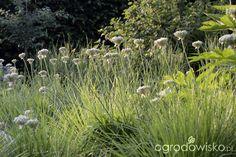 Czosnek czarny - Allium nigrum