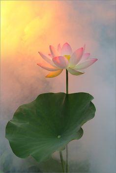 Lotus Drawing, Lotus Painting, Buddha Painting, Painting Flowers, Lotus Flower Pictures, Lotus Flower Art, Amazing Flowers, Beautiful Flowers, Mural Art