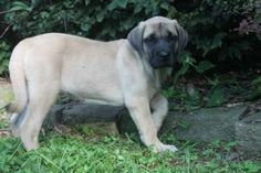 29 Best English Mastiff Puppies For Sale In Pa Images English
