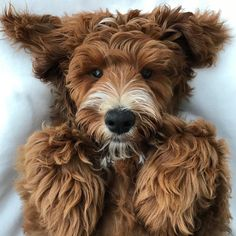 Most up-to-date Screen dogs and puppies labradoodle Strategies Do you like your puppy? Cute Puppies, Cute Dogs, Dogs And Puppies, Doggies, Brown Puppies, Puppies Tips, Small Puppies, Animals And Pets, Baby Animals