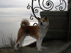 Hachi :Forrest (old Hachi):Japanese Akita Inu , Male Dog