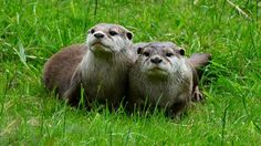 Otters. photo by Iain Wilkie