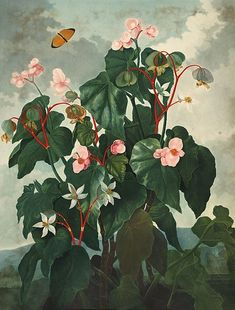 With 1,839 species, Begonia is the fifth-largest angiosperm genus. The plants are monoecious, with unisexual male and female flowers occurring separately on the same plant; the male contains numerous stamens, and the female has a large inferior ovary and two to four branched or twisted stigmas