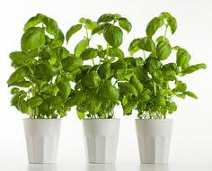 Basilikan kasvatus Vegetable Garden, Herbs, Vegetables, Flowers, Plants, Vegetables Garden, Herb, Vegetable Recipes, Vegetable Gardening
