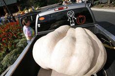 Thanksgiving giant pumpkin weigh off