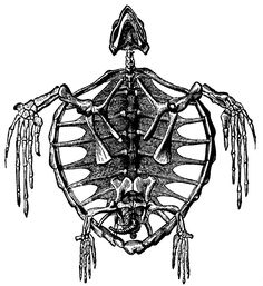 Skeleton of a Turtle