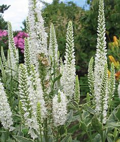 Buy speedwell Veronica longifolia 'Charlotte (PBR)' - A new variegated cultivar: Delivery by Crocus Landscaping With Rocks, Backyard Landscaping, Flowers Perennials, Planting Flowers, Flowering Plants, Veronica Plant, Drought Resistant Plants, Drought Tolerant, Belle Plante