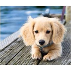 Golden dachshund seriously need one