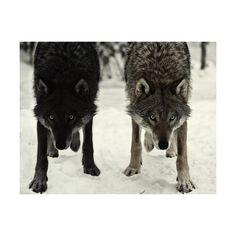STE△L EVERYTHING ❤ liked on Polyvore featuring animals, pictures, photos, backgrounds, wolves and filler