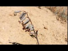 Dipcadi brevifolium in habitat Habitats, Youtube, Plant, Youtubers, Youtube Movies