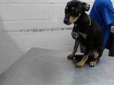11/29/16-HOUSTON - HIGH KILL FACILITY - ALL DOGS URGENT DUE TO OVERCROWDING This DOG - ID#A473178 I am a female, black and brown Chihuahua - Smooth Coated mix. The shelter staff think I am about 15 weeks old. I have been at the shelter since Nov 29, 2016. This information was refreshed 41 minutes ago and may not represent all of the animals at the Harris County Public Health and Environmental Services.