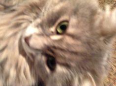 Pepper Cat | Pawshake