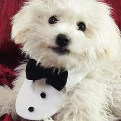 Make Your Dog Feel Fancy AF With Its Own Tuxedo Collar