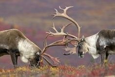 Caribou bulls spar on the Alaskan tundra Photo by Erik Ruf — National Geographic Your Shot