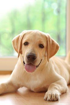 Golden Labrador Dog Lying On Floor In Room Labradorretriever Friendly Dog Breeds Labrador Retriever Labrador Dog