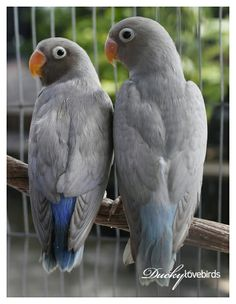 spangle black cheek lovebirds