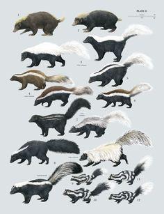 Mephitidae: Skunks (Author: Toni Llobet) • Mydaus marchei (Palawan Stink Badger) • Mydaus javanensis (Sunda Stink Badger) • Conepatus leuconotus (American Hog-nosed Skunk) • Conepatus humboldtii (Humboldt's Hog-nosed Skunk) • Conepatus semistriatus