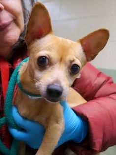 TO BE DESTROYED - 02/03/15 Manhattan Center   My name is FULGENCIO. My Animal ID # is A1026071. I am a male tan and white chihuahua sh mix. The shelter thinks I am about 7 YEARS old.  I came in the shelter as a STRAY on 01/22/2015 from NY 10452, owner surrender reason stated was STRAY.