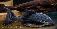 The real blue eyed pleco, Panaque Suttoni | MonsterFishKeepers.com