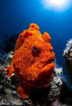 Macro fisheye   inon bugeye  10cm frogfish  Red Sea , today :)