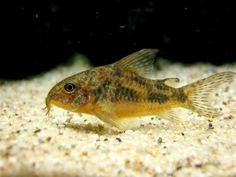 The Care, Feeding and Breeding of Peppered Corydoras