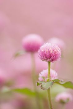 Globe amaranth -great dried flower