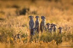 Meerkat family on a Kalahari pan by Christophe JOBIC on Animals And Pets, Baby Animals, Funny Animals, Cute Animals, Beautiful Creatures, Animals Beautiful, Photo Animaliere, Tier Fotos, Mundo Animal