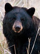Black Bear Posters - Black Bear closeup Poster by Gary Langley