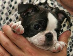 Sweet Baby Boston Terrier. How can you not love this little face?