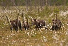 This bear family is waiting for you to see them in real live nature! Brown Bear, Finland, Cute Animals, Wildlife, Pets, Nature, Waiting, Live, Pretty Animals