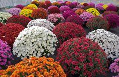 Beautiful and Medicinal Chrysanthemum Flowers Pictures Romantic Flowers, Fall Flowers, Chrysanthemum Flower Pictures, Flowers Perennials, Planting Flowers, Hardy Mums, Dwarf Plants, Fall Mums, Lenten Rose