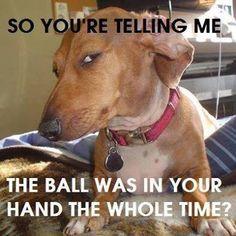 LOL #dachshundmemes #dachshunds