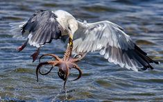 Una hambrienta gaviota acaba de capturar un pulpo en la reserva Bolsa Chica Wetlands, Huntington Beach, California (Andrew J.Lee, 2015)