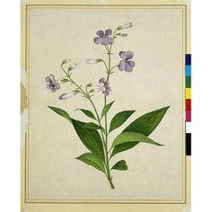 Painting - Bush thunbergia   Guangzhou (made)  Date:  1800-1830 (made)