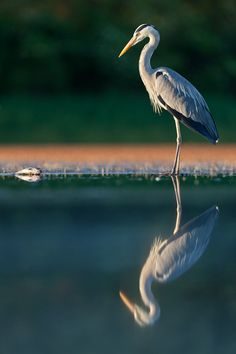 Heron surveying recently caught fish on the edge of a marshland. Posted by © John G, Hungary via forum.wexphotographic.com