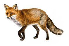Fox used for Arla. Johannes Bojesen illustration reklame grafik og foto @portfoliobox